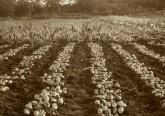 ziemniaki2