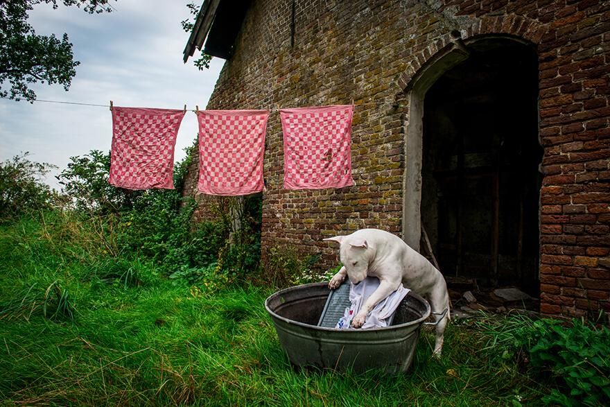Bull Terrier piorący ręcznie na tarce