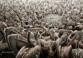 Tłum pelikanów okrążyło rybę
